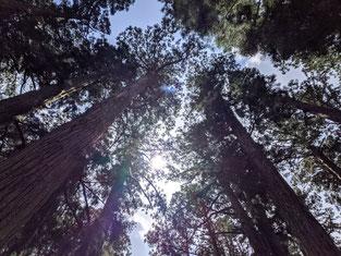 高野山の木