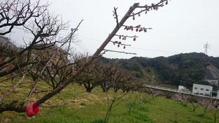 パープルクィーン【標本木】着果状況 2016.3.30