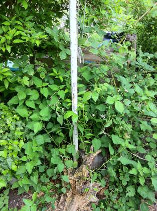 Zwischen Kompost und Totholz kann hier Brennessel ungehindert gedeien.