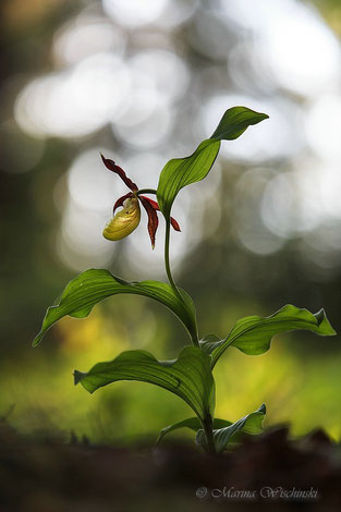 Beim gelben Frauenschuh im dunklen Wald