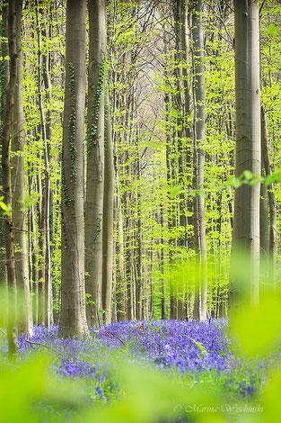 Im zauberhaften blauen Frühlingswald