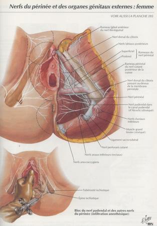 Nerf pudendale et autres nerfs du périnée