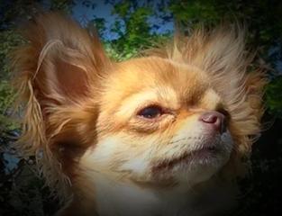 Chihuahua poil long prix