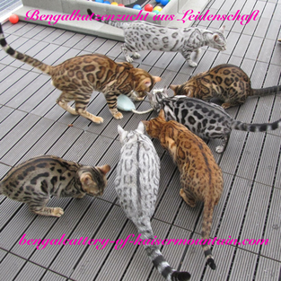 Bengalcattery of Kaisermountain