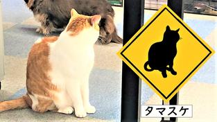 タマスケ(雑種)の図面記号