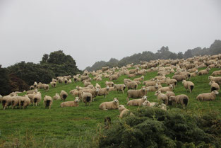 les agneaux sont partout !