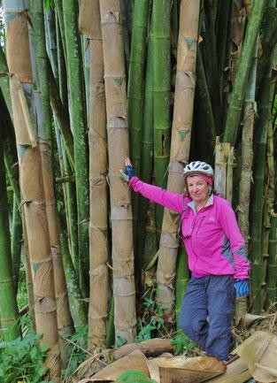 Wir staunen, wie dick Bambus werden kann.