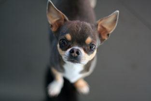 Chihuahua bleu poils courts - Elevage Des Petits Aztèques