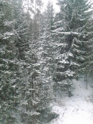 Nur um euch Eifersüchtig zu machen: das ist mein morgendlicher Blick aus dem Fenster (ich liebe Schnee auf den Spitzen von Tannenästen :))