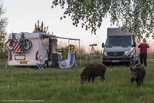 Besuch von wilden Wildschweinen auf dem Campingplatz