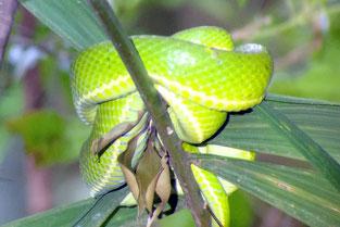 Schlange, Curi Cancha, Monteverde, Costa Rica