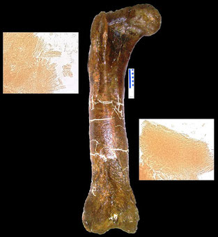 Bレックスの大腿骨