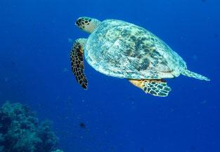 Tortuga en el Mar Rojo /(CC)Derek Keats