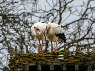 Nun macht sich das Paar daran, das Nest weiter auszukleiden. - Foto: Kathy Büscher