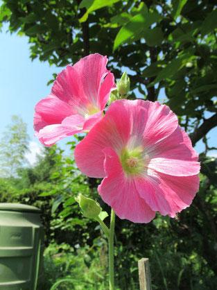 2018年7月15日(日)淡いピンクの立葵 37℃ photo:はる