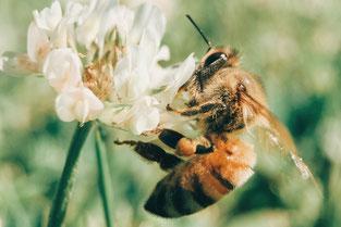 Ein Bienenstich kann für Allergiker gefährlich werden
