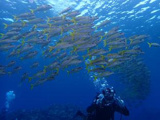 石垣島でのんびりダイビング「アカヒメジの群れに囲まれ」