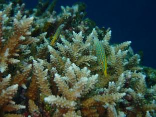 石垣島でのんびりダイビング「テングカワハギ」