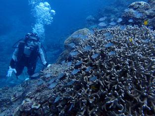 石垣島でのんびりダイビング「竹富島の海」