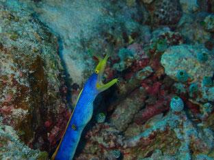 石垣島でのんびりダイビング「ハナヒゲウツボ」