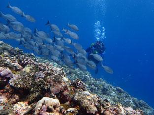 石垣島でのんびりダイビング「ミナミイスズミの群れ」