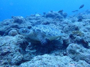 石垣島でのんびりダイビング「アオウミガメに導かれ」