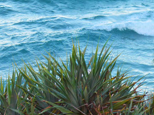 Pandanus and the Coral Sea