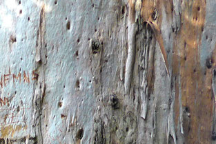 Gum tree bark
