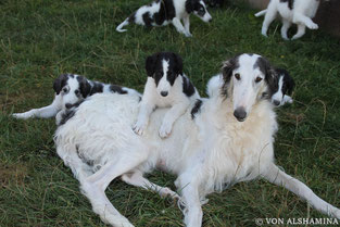 """White borzois..., white & silver borzoi puppies with FCI pedigrees...! """"Our puppies all are very good socialized!"""""""
