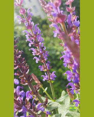 Nahaufnahme der violetten Blüten des Steppensalbei / Hainsalbei / Ziersalbei / Salvia nemorosa im Sonnenschein von K.D. Michaelis