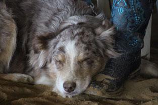 Foto: Momo, eine Austrailian Sheperd-Hündin