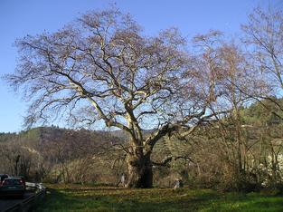 Albero del Piccioni - Ascoli Piceno