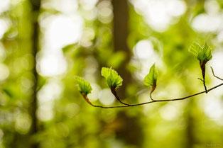 Typische Robinienrinde mit Maserknolle (© Foto: Dr. G. Strobel)