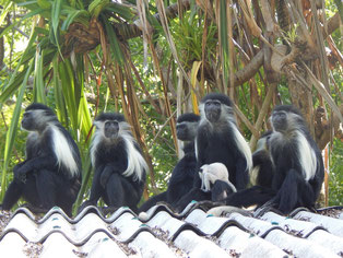 Colobus Stummelaffen in Kenia