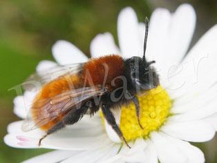 Bild: Fuchsrote Sandbiene, Andrena fulva, Weibchen, Gänseblümchen