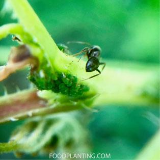 mieren, bladluizen, bestrijden