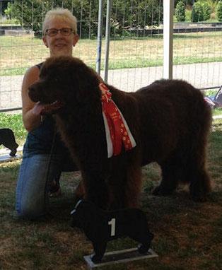 Newfoundland dog Newfy brown Baer-vom-Ermstal
