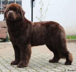 Newfoundland dog Newfy brown Baer-vom-Ermstal