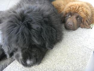 Newfoundland brown puppy