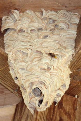 Hornisse Vespa crabro Nest Baum Nistkasten Insekt Tipp Wespe LBV Neu-Ulm