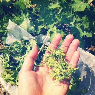 ぽかぽか陽気の日、春の菜っ葉(つぼみ菜と、水菜の花)を畑から摘んできて…