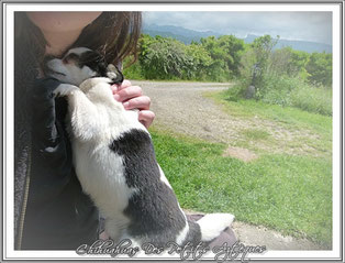 Petit chihuahua