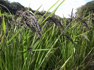 初めての古代米(ミドリ米)栽培