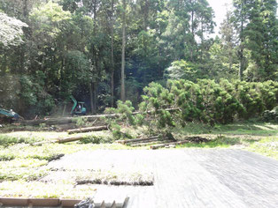 樹齢約100年の杉の伐倒