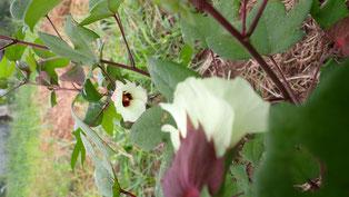 だんだん色が変わる和綿の花