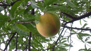 無農薬栽培の桃。葉を販売します。すどう農園