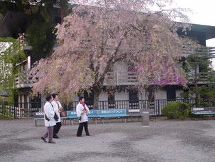 身延山久遠寺の枝垂桜