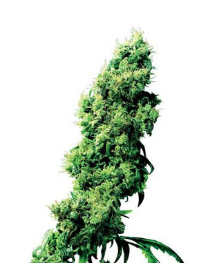 Four-Way® Hanfsamen Cannabis Samen