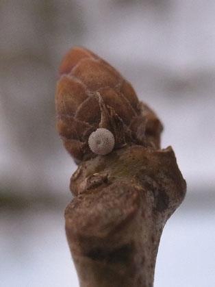 Blauer Eichenzipfelfalter Favonius quercus in Sachsen Tagfalter Pollrich