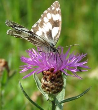 Schachbrettfalter an Flockenblume